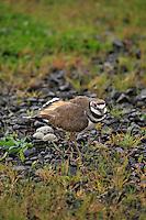 Killdeer protecting her nest with eggs in Multnomah County, Oregon