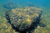 Zebra Mussels, Underwater