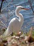 A Great Egret on the shoreline of Lake Nokomis in mating plumage.