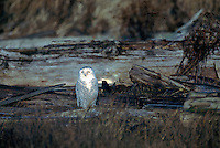 Snowy Owl (Bubo scandiacus) Female or Juvenile, sitting on Log at Boundary Bay Regional Park, Delta, BC, British Columbia, Canada - aka Arctic Owl, Great White Owl or Harfang