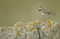 Calandra Lark, Melanocorypha calandra, La Serena, Extremadura, Spain
