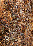 The disruptive color pattern of this Gecko breaks up its outline on a tree trunk in Gamo Gofa, Ethiopia