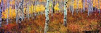 Aspens in La Sal Mountains, Manti-La Sal National Forest, Utah La Sal Mountains, Near Moab