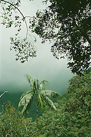 Montane rainforest also called  cloud forest in Cordillera de la Costa mountain range, Aragua State, Venezueala. Palm is Euterpe sp.
