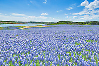 These are some of the biggest fields of bluebonnets in Texas and it is impressive to see this sea of blue that seem to blanket the landsape in every direction you look, only the roads in and out are not covered in bluebonnets this year at Muleshoe Park. The wildflowers create a stunning landscape of blue along the river beds as this is this area is normally under water as it is the flood plain but due to our drought conditions this area for the last two years has been full of bluebonnets instead of water.