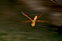 304570004 a wild female mexican amberwing dragonfly perithemis intesa hovers in flight while ovipositing near el centro imperail county california united states