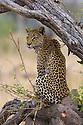 Leopard (Panthera pardus) sitting on branch, Okavango Delta, Moremi Game Reserve, Botswana