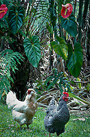 Chickens in Hawaii