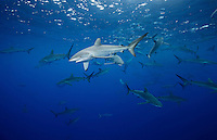 RM0739-D. Silky Sharks (Carcharhinus falciformis), dozens gathered together to feed on small fish in baitball. Baja, Mexico, Pacific Ocean. <br /> Photo Copyright &copy; Brandon Cole. All rights reserved worldwide.  www.brandoncole.com
