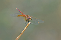 362700003 a wild male band-winged meadowhawk symeptrum semicinctum perches on a plant on pintail slough in havasu national wildlife refuge mojave county arizona united states