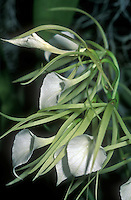 Brassavola Little Stars (nodosa x subulifolia) Orchid primary hybrid