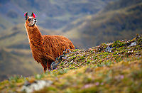 A llama roams on a mountainside in the Lares Valley near Quisuarana, Peru, on May 16, 2008. In Peru llamas are used as transportation as well as for the production of fiber and meat.