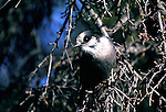 Gray Jays