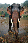 An Asian elephant (elephas maximus)after having it's morning bath at Pak Lai, Laos.