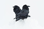 Though the scene belies any sense of the upcoming spring, this raven pair doesn't let the snow deter them from their courting rituals. Mating for life, the courtship of ravens is fairly complex. In order to impress a mate, the potential suitor must demonstrate their intelligence, perform aerial acrobatics, and display a remarkable ability to provide food. Once the bond has been made, the pair must first establish and defend a territory before beginning to build a nest and raising the next generation of intelligent scavengers.