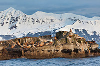 Steller sea lions, snow covered mountains of Montague Island in the distance, Prince William Sound, southcentral, Alaska