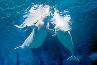 belugas or white whales, Delphinapterus leucas, Arctic and Subarctic Ocean (c)