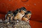 Barn swallow chicks in nest