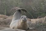 Northern elephant seal, juvenile bull
