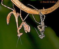 "0215-07yy  Budwing Mantis ""Nymph"" with Molt - Parasphendale agrionina ""Nymph"" © David Kuhn/Dwight Kuhn Photography"