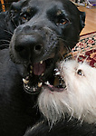 One black and one white mixed breed dogs play fighting
