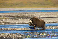 Muskox along the Sagavanirktok river on the arctic coastal plains, arctic, Alaska.