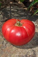 Tomato Mortgage Lifter Beefsteak from 1930s, a hybrid cross of four of the largest tomatoes, German Johnson, Beefsteak, an Italian variety, and an English variety. Heirloom antique vegetable