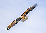 An American Bald Eagle shows his impressive 6-foot wingspan high above the Wisconsin River near Prairie du Sac, Wisconsin.