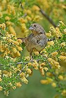 582190005 a wild canyon towhee pipilo fuscus perches in a flowering tree at catalina state park in tucson arizona united states