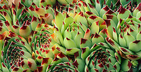 Sempervivum &lsquo;Sir William Lawrence&rsquo;