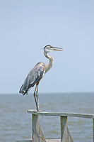Great blue heron, Rockport, Texas
