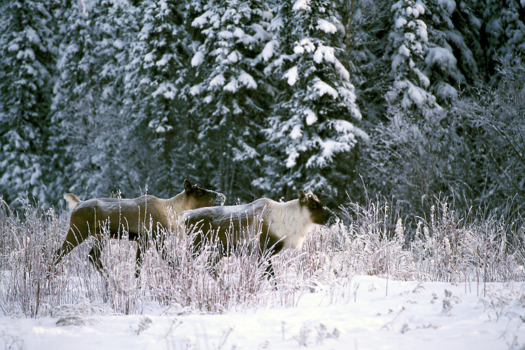 Woodland Caribou (Rangifer tarandus) running through Snow along Alaska Highway, Northern BC, British Columbia, Canada, Winter