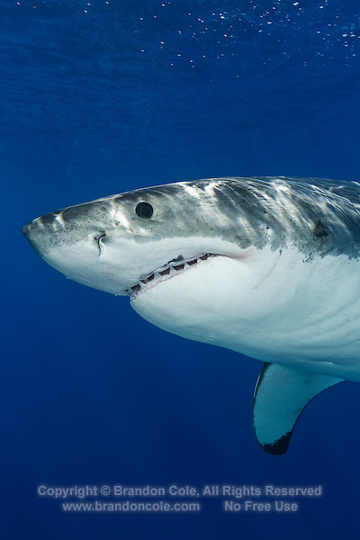 TE0667-D. Great White Shark (Carcharodon carcharias), unquestionably dangerous, but not a bloodthirsty mindless killer. Worldwide temperate and subtropic waters. Capable of dives to at least 4000 feet, and epic migrations covering thousands of miles. Guadalupe Island, Baja, Mexico, Pacific Ocean.<br /> Photo Copyright &copy; Brandon Cole. All rights reserved worldwide.  www.brandoncole.com