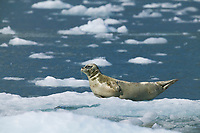 Harbor seal on glacier icebergs, Nassau fjord, Chenega glacier, Western Prince William Sound, Alaska