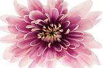 Pink Chrysanthimum