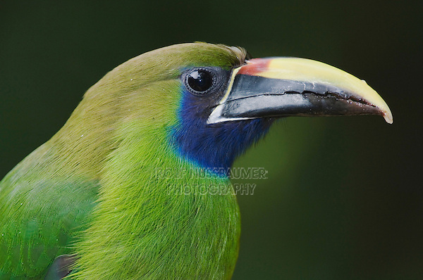 Emerald Toucanet, Aulachorynchus prasinus, adult close up, Central Valley, Costa Rica, Central America
