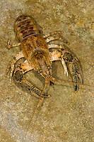 Kamberkrebs, Kamber-Krebs, Camberkrebs, Amerikanischer Flusskrebs, Orconectes limosus, Cambarus affinis, Eastern Crayfish, Or Delcore Crayfish, Spinycheek Crayfish, Spiny-cheek Crayfish, American crayfish
