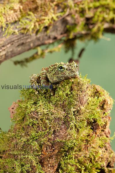 Vietnamese Mossy Frog (Theloderma corticale), Vietnam. Captivity