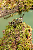 Vietnamese Mossy Frog (Theloderma corticale), Vietnam. Captivity