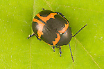 Milkweed beetle  Labidomera clivicollis