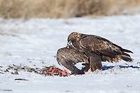 Golden eagle feeding on a canada goose during winter in Wyoming
