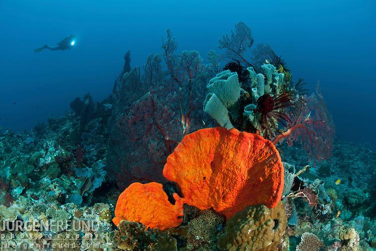 Bright orange sponge and massive fan corals in the reef with diver.