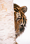 Tiger peeking around a tree trunk. (captive)
