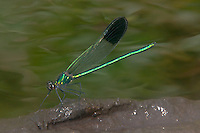 River Jewelwing (Calopteryx aequabilis) Damselfly - Male, Ward Pound Ridge Reservation, Cross River, Westchester County, New York