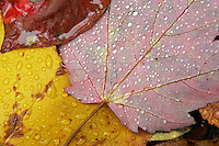 Fall leaves with water droplets on the Blue Ridge Parkway.