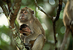 Long-tailed Macaques are related to mandrills and baboons and are found principally in the Far East.