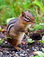Eastern Chipmunk (Tamias striatus), Mount Pisgah Recreation area, Blue Ridge Parkway, North Carolina, USA