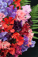 Lathyrus odoratus (Sweet pea) 'Spencer Mixed' in bouquet floral arrangment with fern against black background