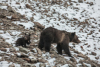 Grizzly bear sow with cub on  snowy talus slope in Wyoming