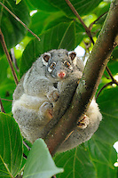 Green Ringtail Possum (Pseudocheirus archeri) female, Queensland, Australia